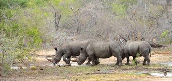 Rhinocéros trois recherchant l'eau pendant une période de sécheresse Photos libres de droits
