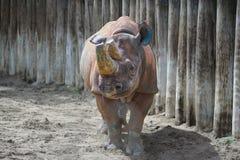 Rhinocéros un du grand fifre Photos libres de droits