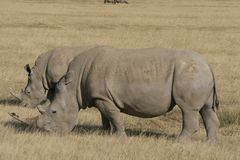 Rhinoc?ros blanc africain de paires, rhinoc?ros place-labi?, lac Nakuru, Kenya images stock