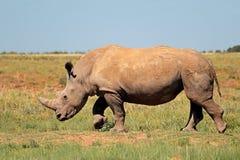Rhinoc?ros blanc dans l'habitat naturel image stock