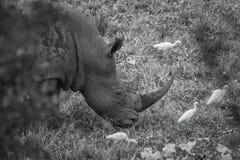 Rhinoc?ros blanc du sud en parc national de Kruger, Afrique du Sud photo stock