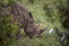 Rhinoc?ros blanc du sud en parc national de Kruger, Afrique du Sud photographie stock