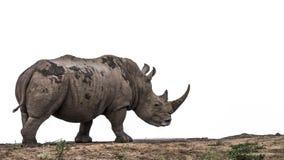 Rhinoc?ros blanc du sud en parc national de Kruger, Afrique du Sud photos libres de droits