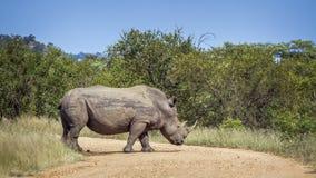 Rhinoc?ros blanc du sud en parc national de Kruger, Afrique du Sud photos stock