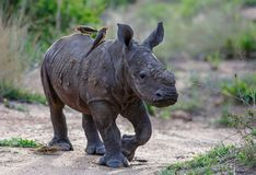 Rhinoc?ros de b?b? avec l'oxpecker images stock