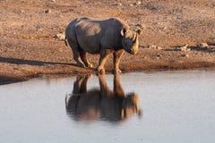 Rhinoc?ros noir, bicornis de Diceros en parc national d'Etosha, Namibie photos stock