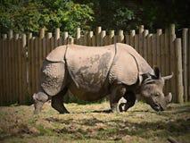 Rhinoc?ros noir dans le ZOO de Chester Le Royaume-Uni images libres de droits