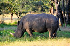 Rhinocercos en Zambie Photographie stock