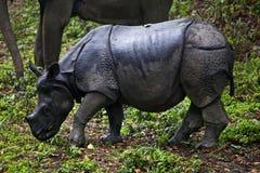 Rhinocero Стоковая Фотография