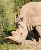 Rhinocero noir sur le pâturage avec l'herbe - bicornis de Diceros Images libres de droits