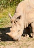 Rhinocero noir sur le pâturage avec l'herbe - bicornis de Diceros Photos libres de droits