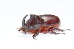 rhinoceros европейца жука Стоковые Фотографии RF
