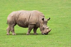 Rhinoceros есть траву мирно Стоковая Фотография