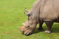 Rhinoceros есть траву мирно, Cabarceno Стоковые Фото