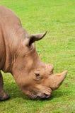 Rhinoceros есть траву мирно, Cabarceno Стоковое Изображение