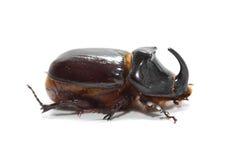 rhinoceros жука Стоковое фото RF