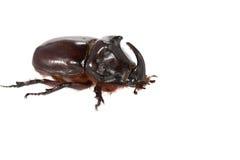 rhinoceros жука Стоковая Фотография