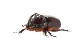 rhinoceros жука Стоковые Изображения RF