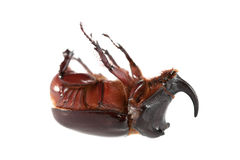 rhinoceros жука Стоковое Фото
