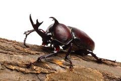 rhinoceros жука Стоковое Изображение