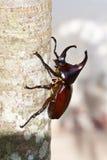 rhinoceros жука Стоковая Фотография RF
