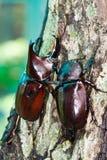 rhinoceros жука Стоковые Фотографии RF