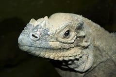 rhinoceros игуаны Стоковое фото RF
