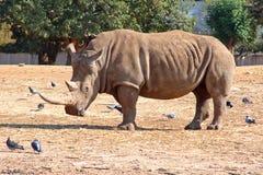 rhinoceros сильный стоковое изображение rf