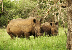 Rhinoceros. At Infalozi in South Africa stock photo