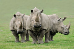 Free Rhinoceros Royalty Free Stock Photo - 10865345