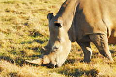 Rhinoceros. A white Rhinoceros searching for food Royalty Free Stock Image