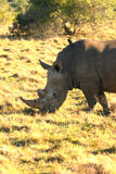 Rhinoceros. A white Rhinoceros with a hitch-hiker Stock Image