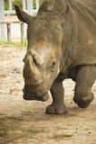 Rhinoceros. White rhinoceros walking in the zoo Stock Images