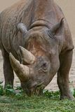 Rhinoceros royalty free stock image