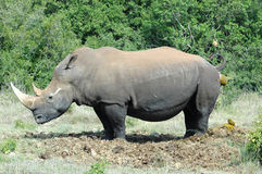 Rhinoceros. White Rhinoceros - Witrenoster - Rhino (Ceratotherium simum) standing next to a water hole in a game park in South Africa Stock Photos