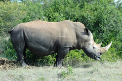 Rhinoceros. Side view of a white South African rhinoceros (Ceratotherium simum) with big horns standing in front of bushes Stock Images
