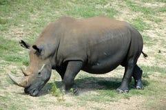 Free Rhinoceros Stock Photos - 1173633