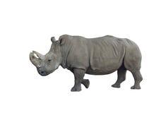 Rhinoceros. Isolated on white background Royalty Free Stock Photography
