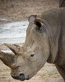 Rhinoceros. Close up of a rhinoceros face Royalty Free Stock Photography