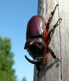 Rhinoceros. Beetle on the trunk Royalty Free Stock Photography