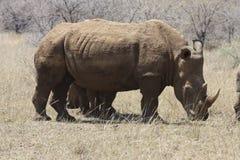 Rhinoceros Royalty Free Stock Images