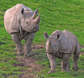 Rhinoceros Royalty Free Stock Photo