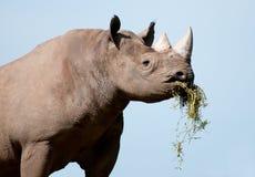 rhinoceros Стоковые Изображения