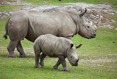 Rhinoceros. Big and small rhinoceros in motion Royalty Free Stock Photography
