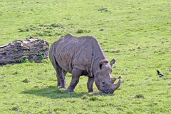 Rhinoceros. A Rhino grazing with a watching magpie nearby royalty free stock image