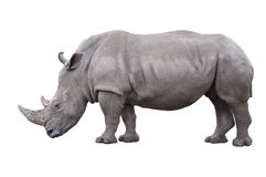 Rhinoceros Royalty Free Stock Photos