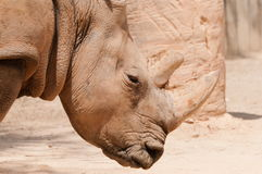 Rhinoceros. Close up of the face of a rhinoceros Royalty Free Stock Image