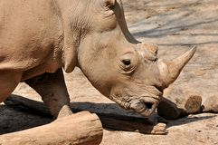 A rhinoceros Royalty Free Stock Photo