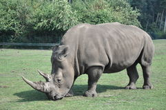 Rhinoceros Stock Photos