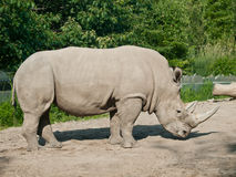 rhinoceros Стоковое Фото
